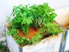 Benih Stevia Untuk Dijual tanamsendiri grow your own tanam dalam bekas herba