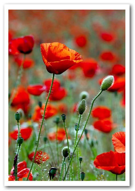 red poppy field galore flowers framed art giclee art print