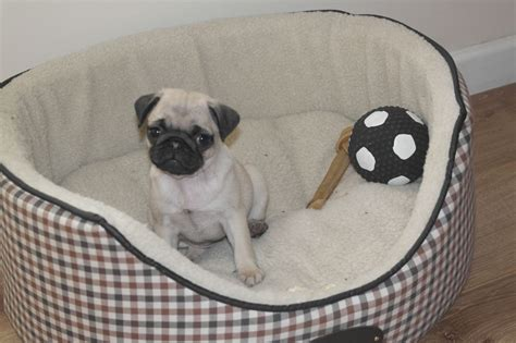 9 week puppy pug puppy 9 weeks broadway worcestershire pets4homes