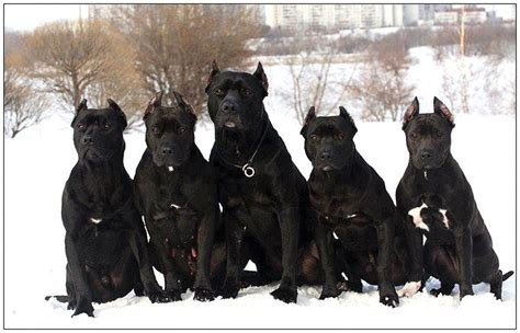 all black dogs all black pitbull photo happy heaven