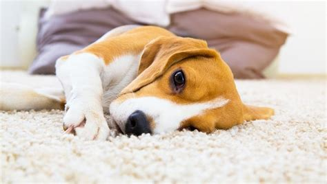 chagas disease in dogs chagas disease in dogs symptoms causes treatments dogtime