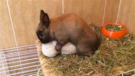 how is a in heat conejo en celo rabbit in heat