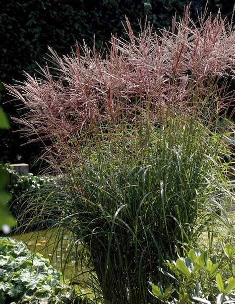 Deep Purple Bedding Miscanthus Sinensis Nippon Ballyrobert Gardens