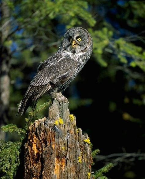 great grey owl british columbia canada beautiful