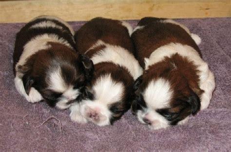 when do shih tzu puppies open shih tzu puppies for sale sapphire shih tzu