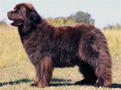 newfoundland shedding newfoundland big dogs big breeds types of big dogs pictures of big