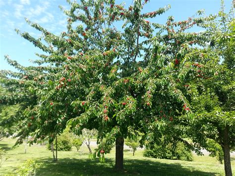 fruit trees want a produce department add fruit trees to your yard