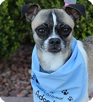 pugs las vegas chihuahua pug mix for adoption in las vegas nevada