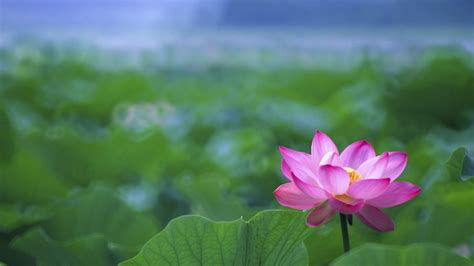 Lotus Flower Buddhism Lotus Flower Buddha Wallpaper