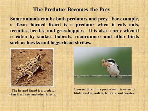 Prey Of The Predator predators and prey of the chihuahuan desert ppt