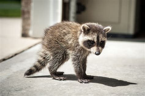 baby marder baby raccoon wallpapers baby animals