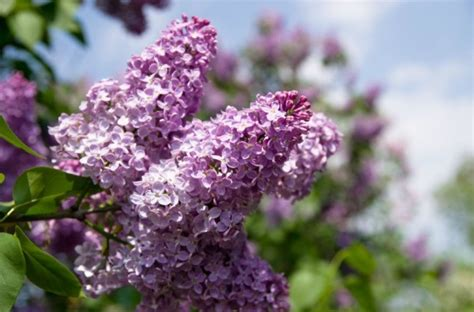 lilac not blooming thriftyfun