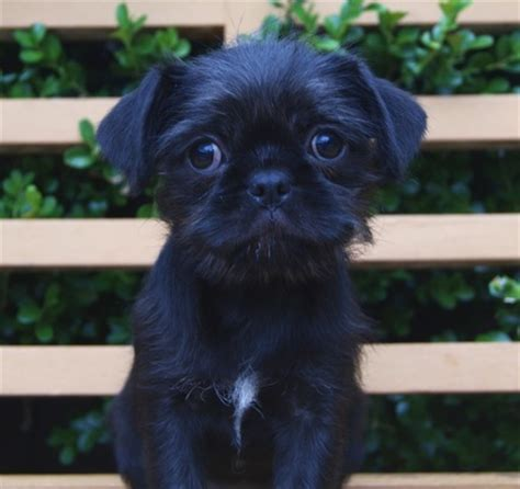 maltese and pug pug x maltese cottage canines australia