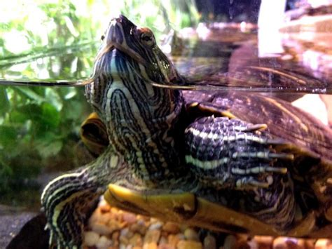 puppy store ta free picture turtle display tank pet store featured eared slider turtle
