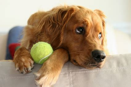 are golden retrievers guard dogs golden retriever breed information on golden retrievers