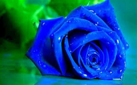 Bibit Mawar Hitam Dan Biru gambar bunga mawar daunbuah