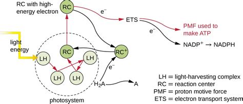 Light Harvesting Complex by Photosynthesis Microbiology