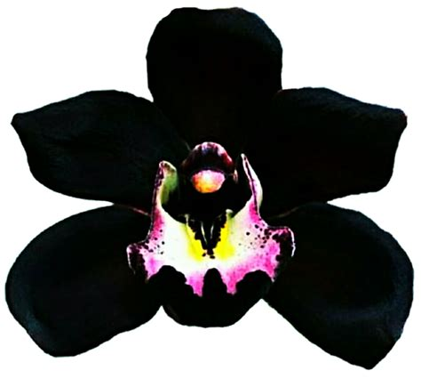 The Black Orchid black orchid by jeanicebartzen27 on deviantart