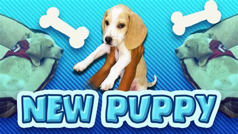 new puppy new puppy new beagle puppy puppy cuteness