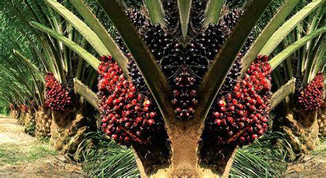 Minyak Kelapa Sawit Di Indonesia tun m umum bersatu akan menyertai langsung bersama