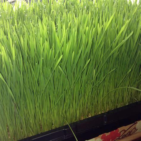 Garden Of Wheatgrass Garden Of Vegan In Delray Fl Offers Vegan Gluten
