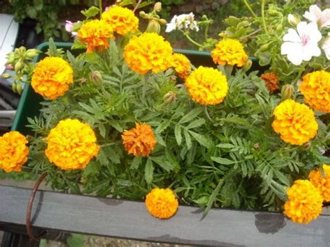 marigolds shade choose flowers for window boxes www coolgarden me