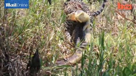 Jaguar Catches Caiman Jaguar Catches Caiman In Spectacular New Footage From