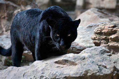 what color is a panther a black panther is focused on me by seb photos on