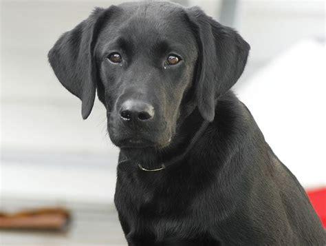 imagenes labrador negro perro labrador negro informaci 243 n fotos y videos petdarling
