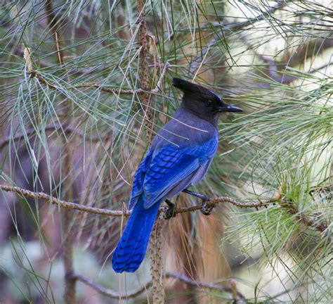 50 best images about stellar jay on pinterest canada