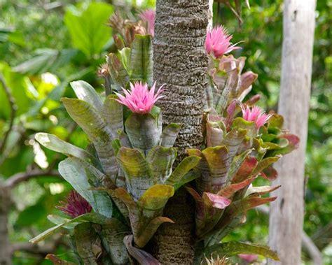 Online Vase Gardensonline Aechmea Fasciata