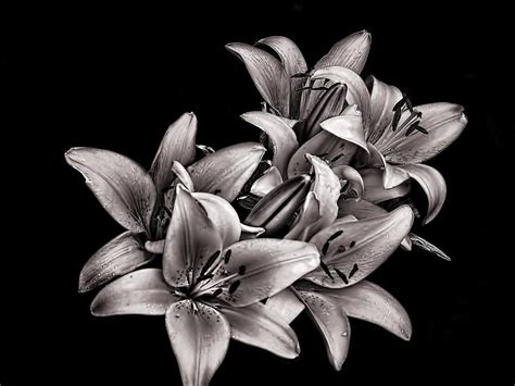 lillies photograph by robert knight