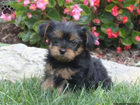 yorkie poos for sale in pa 1000 ideas about yorkie poo for sale on pomsky puppies puppies and yorkie