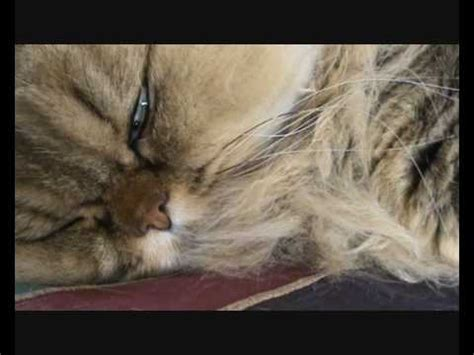 twitching while awake cat dreams twitching in sleep funnycat tv