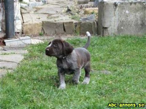 spinone italiano puppies spinone italiano puppies hundar tillbeh 246 r abc annons se gratis annonser id362058