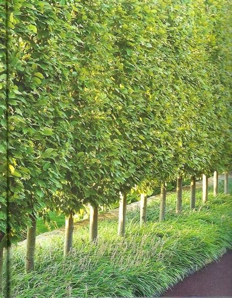 small backyard trees for privacy small trees for backyard best small trees for your yard