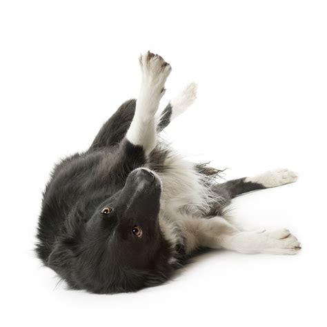 dogs in the bathtub position canine body language let s break it down houston pettalk