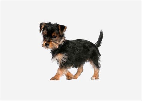 yorkie span europetnet terrier