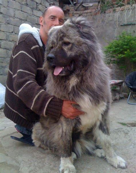 caucasian shepherd about dogs caucasian shepherd dogs about