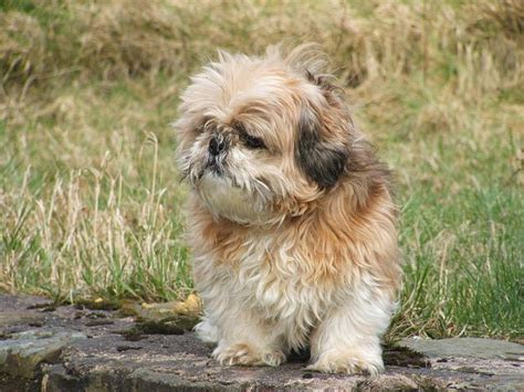 shih tzu products shih tzu news stories pictures products shih tzus home