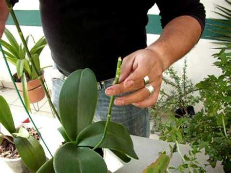donde buscar imagenes sin copyright las varas florales de la orqu 237 dea phalaenopsis youtube