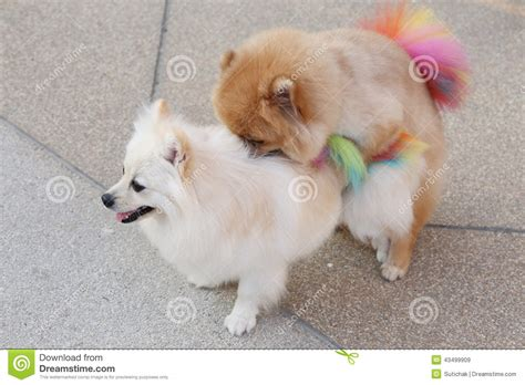 pomeranian mating pomeranian dogs stock photo image 43499909