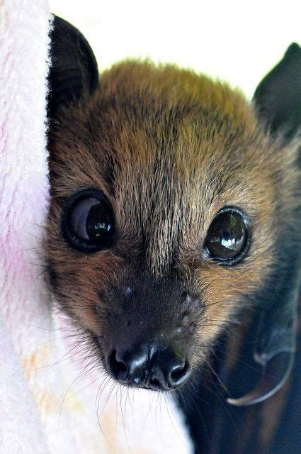 cute baby flying fox bat 2171 best images about bat photos on pinterest baby bats