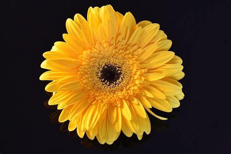 fiore giallo nomi fiori gialli tipo margherite kwckranen
