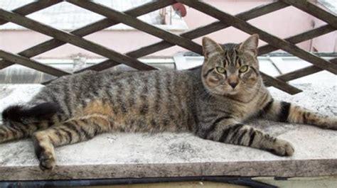port royal torvaianica cucciolissimi org cucciolissimi smarrito gatto tigrato