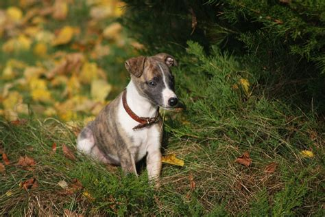 puppy crush crush the whippet dogs today magazine