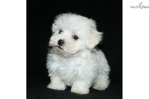 maltipoo puppies for sale near me malti poo maltipoo puppy for sale near grand forks dakota a99b14ba d771
