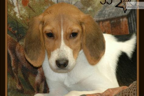 american foxhound puppies for sale near me american foxhound puppy for sale near kansas city missouri d04914ae 7741