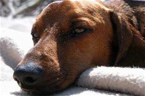 ematoma interno home rimedi per ematomi dell orecchio nei cani