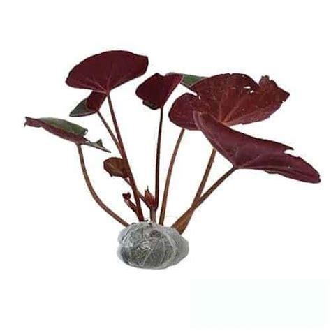jual tanaman begonia apem merah bibit